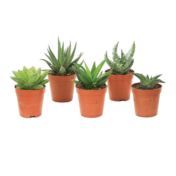 Evergreen Succulents Houseplants - Mixed set of five