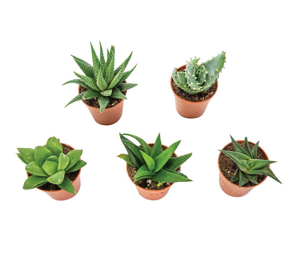 Evergreen Succulents Houseplants - Mixed set of five - Gardenesque