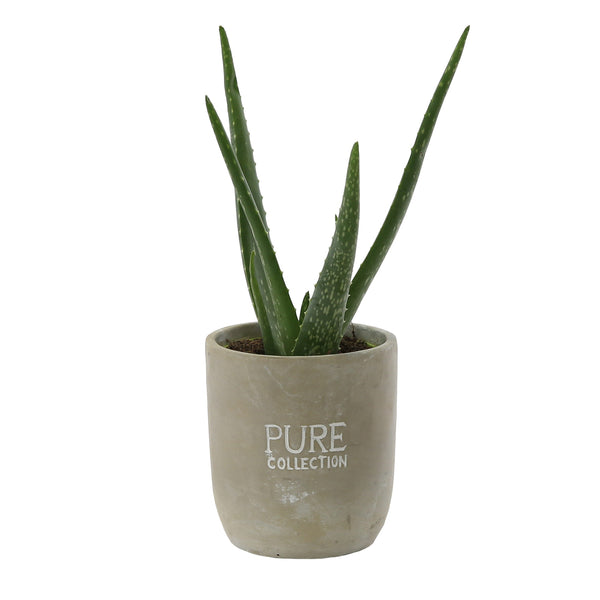 Aloe Vera Houseplant - Low Maintenance - Gardenesque