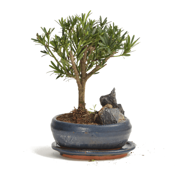 Small Mature Bonsai Tree With Blue Pot - Gardenesque