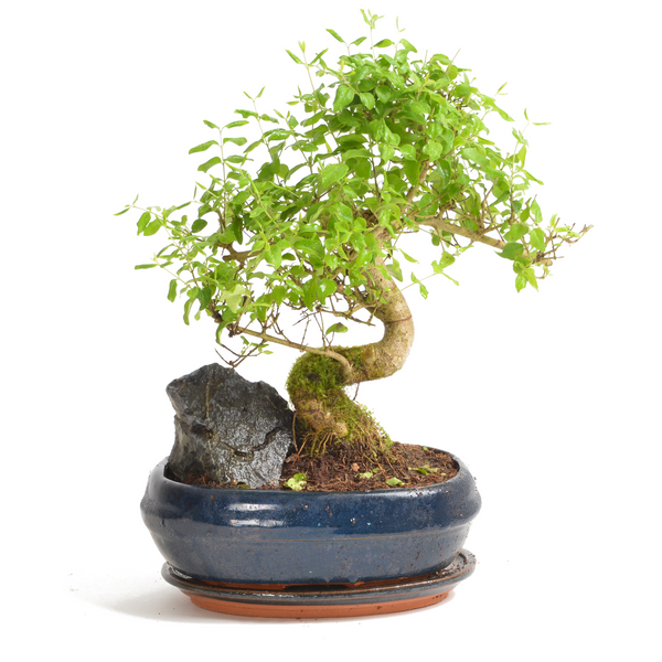 Mature Chinese Elm Bonsai Tree With Blue Pot - Gardenesque