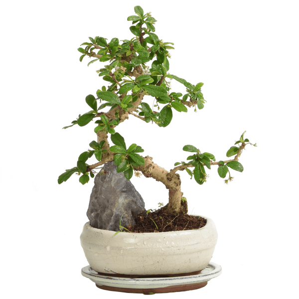 Small Mature Bonsai Tree With White Pot - Gardenesque