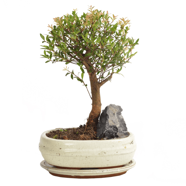 Mature Bonsai Tree With White Pot - Gardenesque