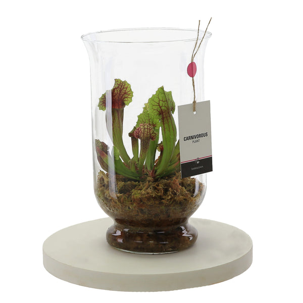 Sarracenia Carnivorous Plant in Glass Vase - Gardenesque