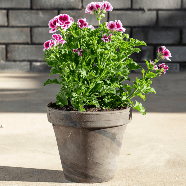 Chocolate Terracotta Pots - Multiple Sizes & Quantities - Gardenesque