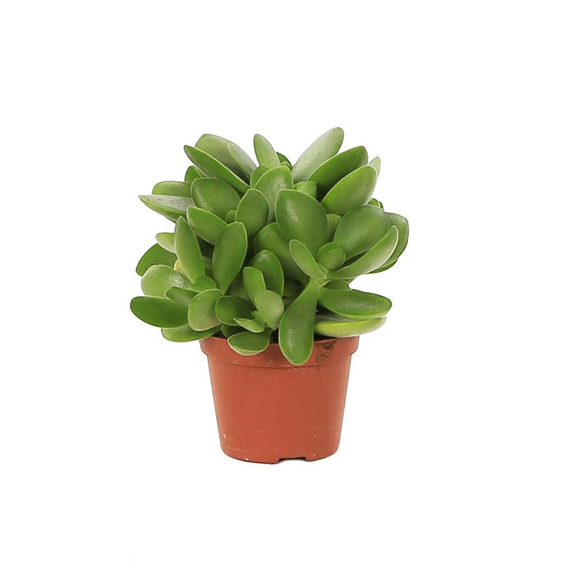 Small Crassula swaziensis - The 'Money Maker' available at Gardenesque.com