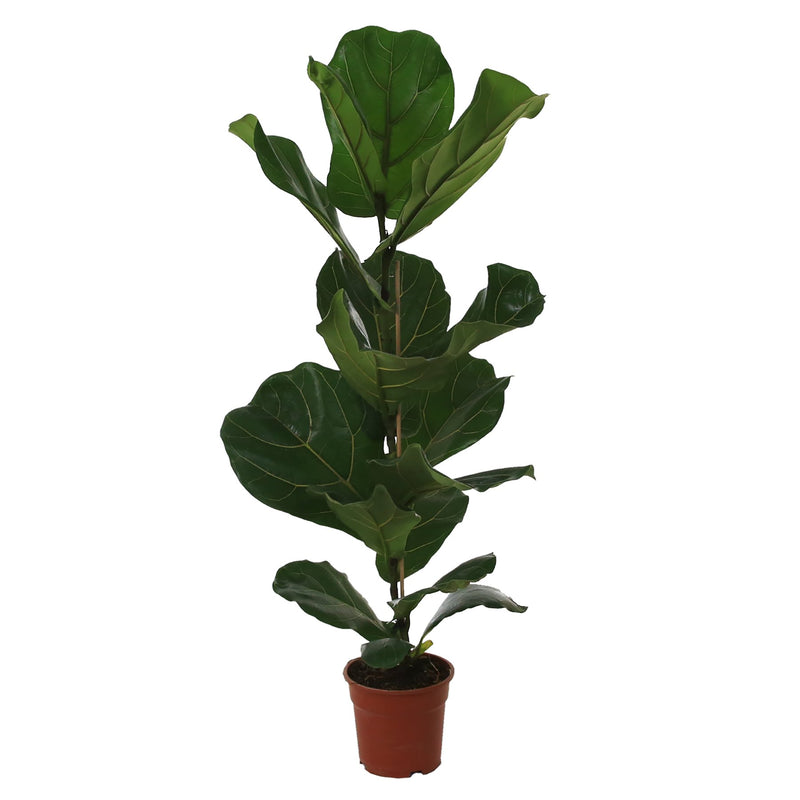 Ficus Lyrata - Fiddle Leaf Fig - Gardenesque