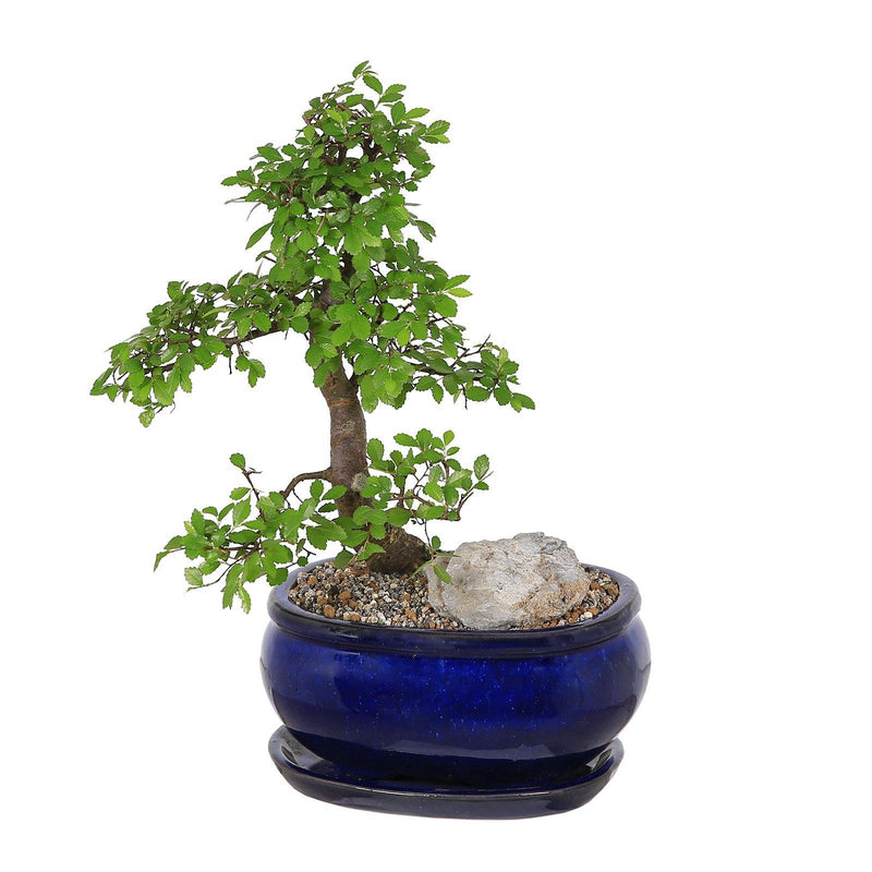 Dark Blue Ceramic Oval Bonsai Pot with Dish - 2 Sizes - Gardenesque
