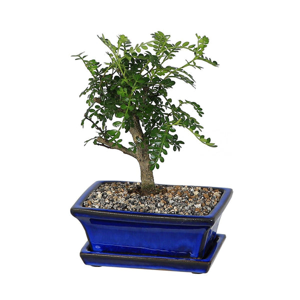 Blue Ceramic Rectangular Bonsai Plant Pot with Dish - Gardenesque
