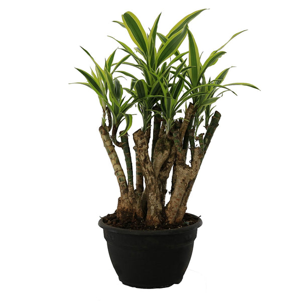 Dracaena Lemon Lime Bonsai - Gardenesque