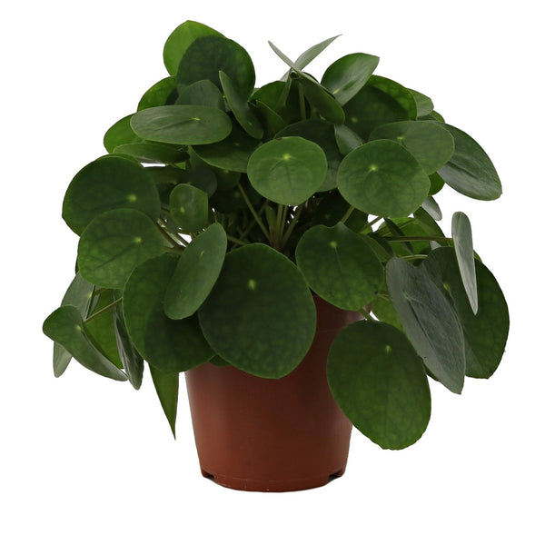 Pilea Peperomioides - Chinese Money Plant - Gardenesque