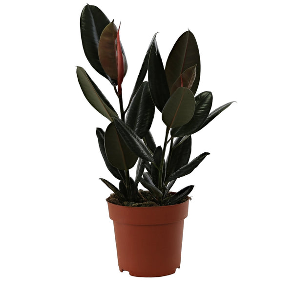 Ficus Elastica Abidjan Evergreen Houseplant with Pot - Gardenesque