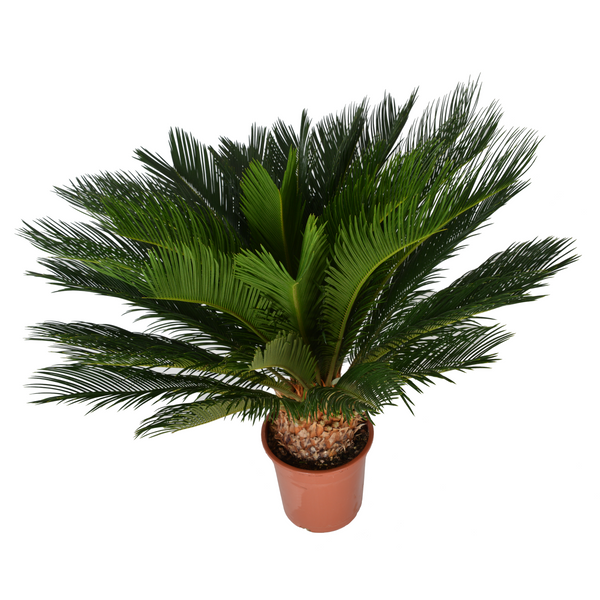 Extra Large Sago Palm 'Cycas Revoluta' Indoor Tree 90cm - Gardenesque