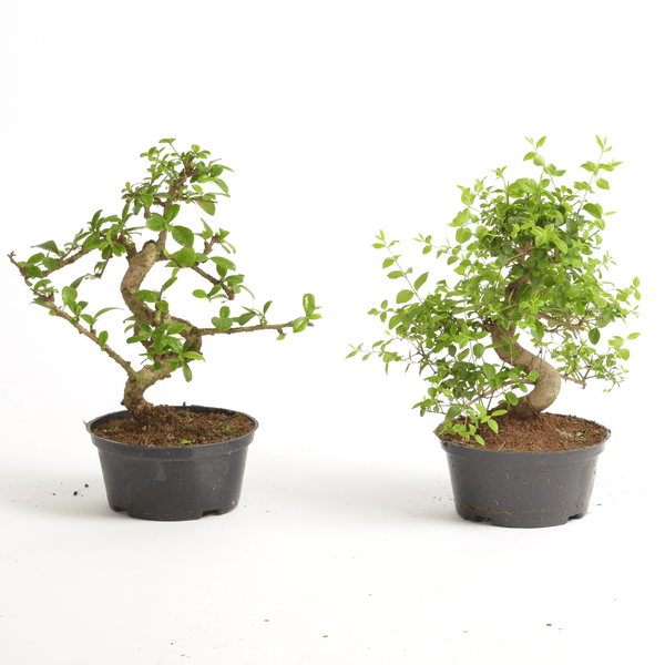 Individual Mature Bonsai Tree Without Pot - Gardenesque