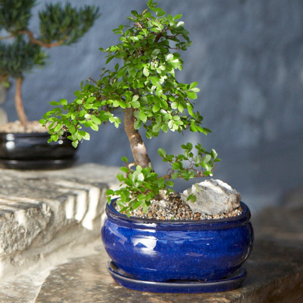 Dark Blue Ceramic Oval Bonsai Plant Pot with Dish - 2 Sizes - Gardenesque