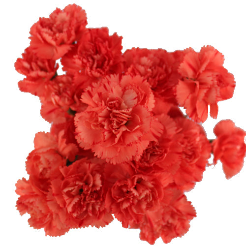 Red Mini Carnation 1bunch (20-25pc)