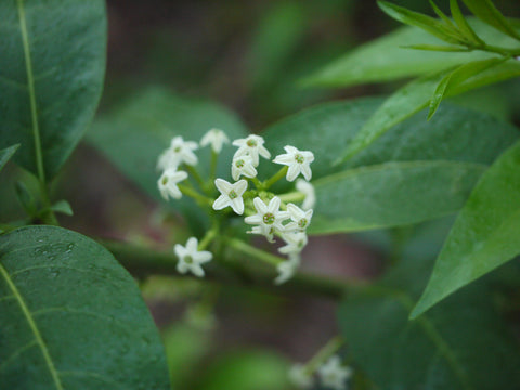 Night Blooming Jasmine | Moonglow