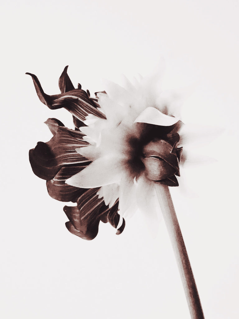 Black and White Dahlia - Ashley Woodson Bailey