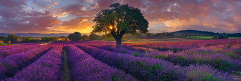 Sun shining through a single tree in the middle of purple rows of lavender at sunset in Valensole France