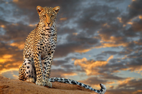 Orange and white leopard with black spots sitting on a rock with the sun setting through the clouds in the background.