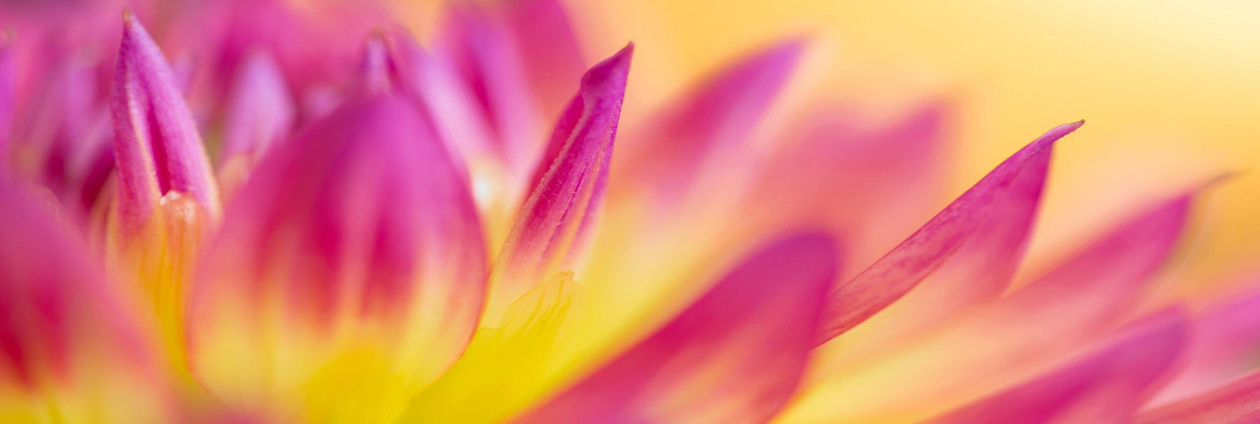 Close up of the pink and yellow petals of a spring flower
