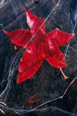 Close up of a red Maple leaf frozen in the top layer of the Salmon River Idaho