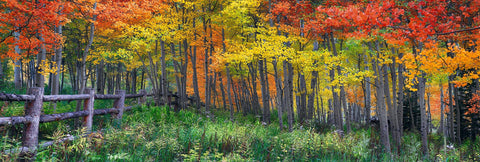Wooden fence leading into an Autumn colored forest of birch trees in Aspen Colorado