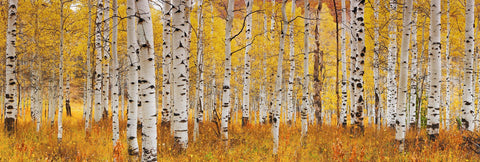 Forest of white aspen trees covered with yellow leaves in Deer Valley Utah