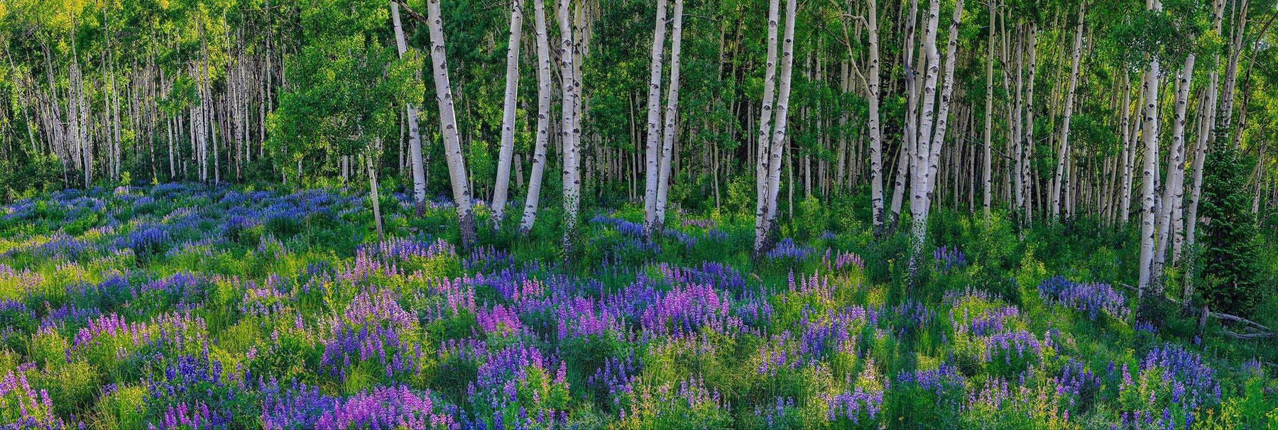 A field of purple wildflowers in front of a white birch tree forest in Aspen, Colorado