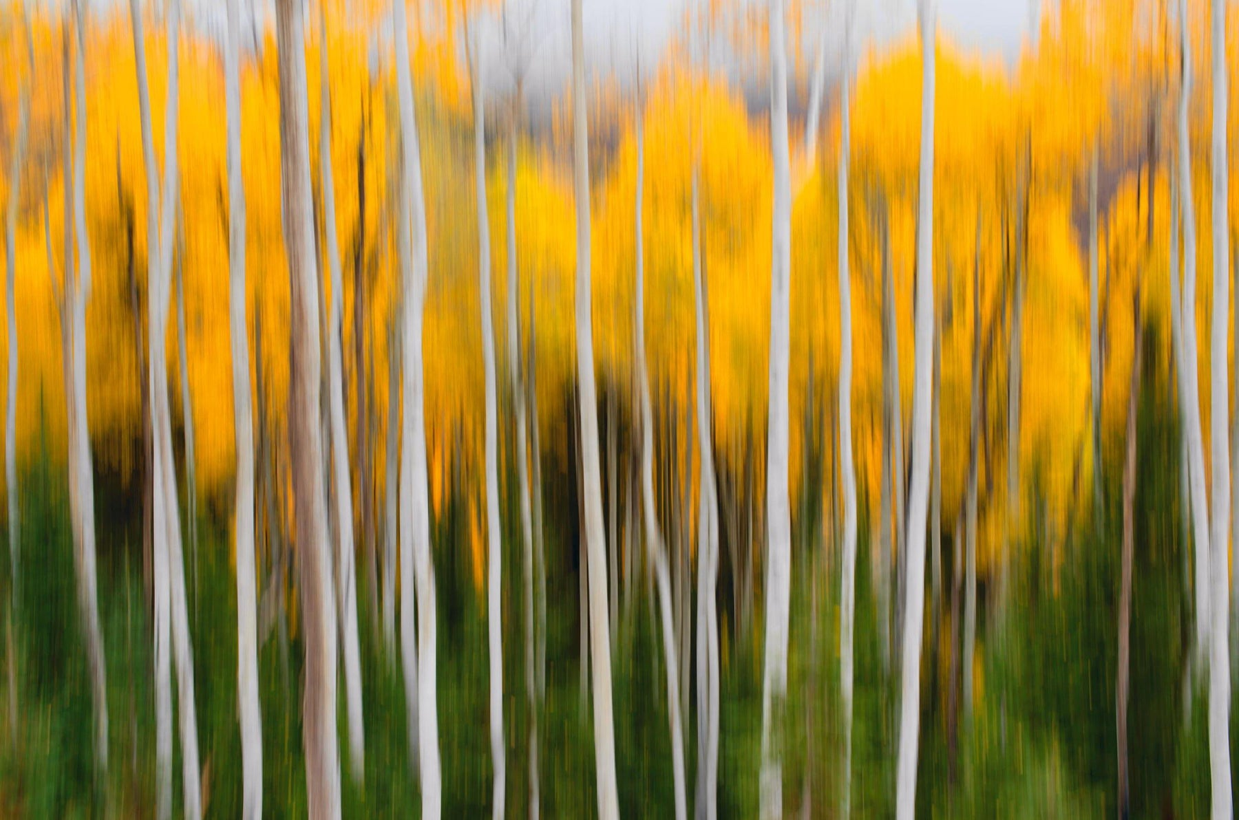 Blurred yellow and white forest with green grass foreground in Aspen Colorado
