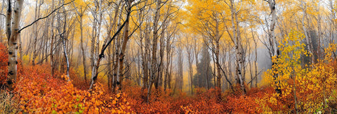 Misty autumn colored aspen forest filled with orange bushes and a pine tree in the background