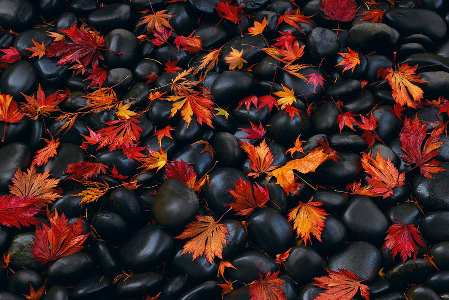 Close up of wet red and orange maple leaves laying on black rocks