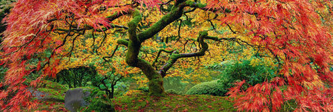 Japanese Maple tree on a mossy hill with its branches of red and yellow leaves stretched out