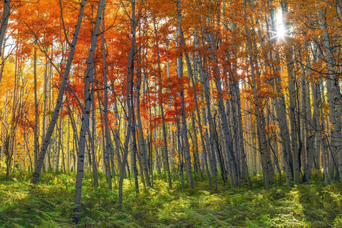 Forest of Autumn colored birch trees growing out of a field of green ferns in Crested Butte Colorado