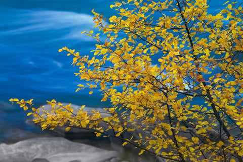 Yellow leaves and branches reaching over a blue river and rocks on the shore of Bend Oregon