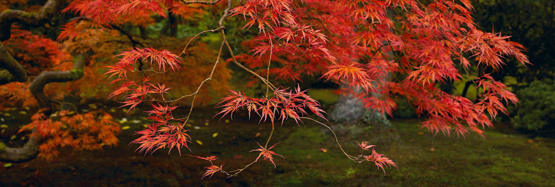 Red leaves and branches of a Japanese Maple tree reaching out with the trunk and ground in the background