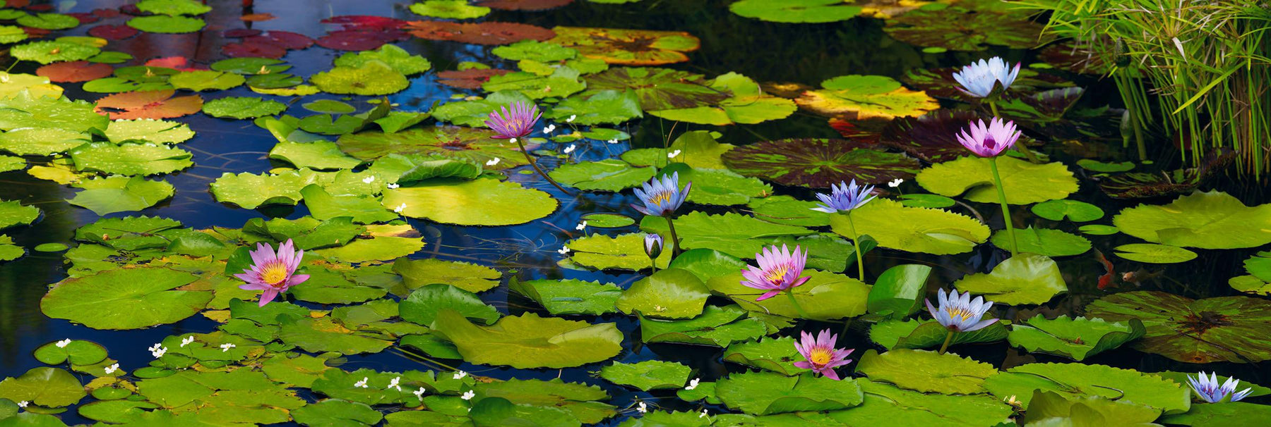 Pond filled with lily pads and pink and purple lilies in Maui Hawaii