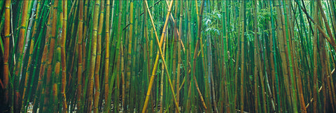 Wall of green bamboo along the path of Pipiwai Trail Hawaii