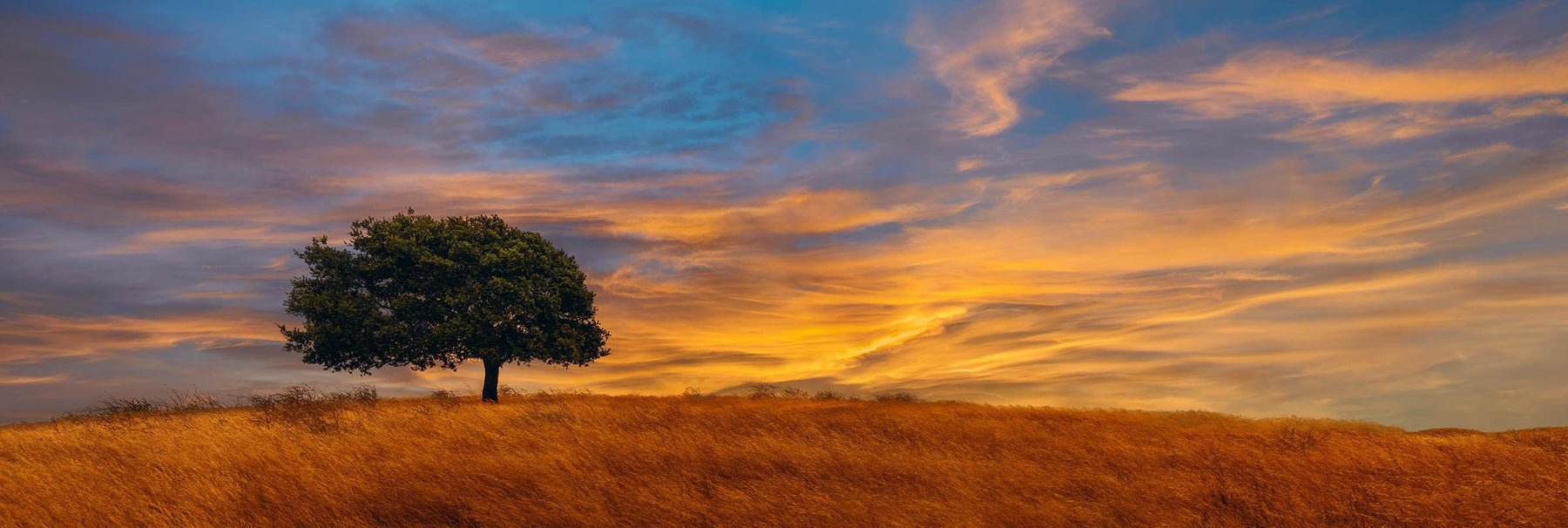 Single wind blown tree on a small brown grass field in California at sunset