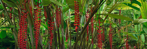 Lush green foliage and red vine flowers in the rainforest of Hilo Hawaii