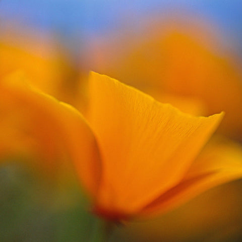 Close up of orange petals of a poppy flower in the fields of Antelope Valley California Poppy Reserve