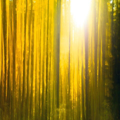 Sun shining through a blurred yellow forest of birch trees in Colorado