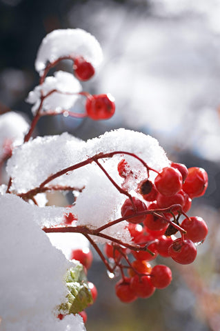Close up of red berries on a branch covered with snow in Niagara Falls New York