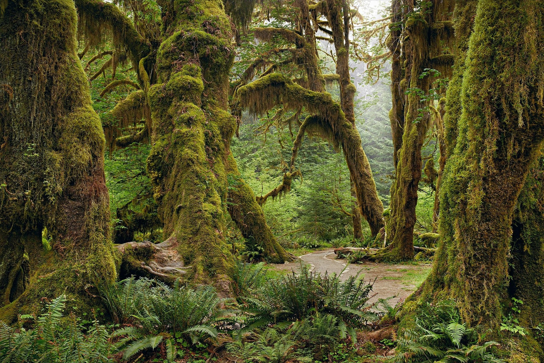 Dirt trail running through the moss covered forest in Olympic National Park Washington