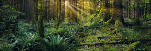 Sun shining through the fern and moss covered forest within Olympic National Park Washington