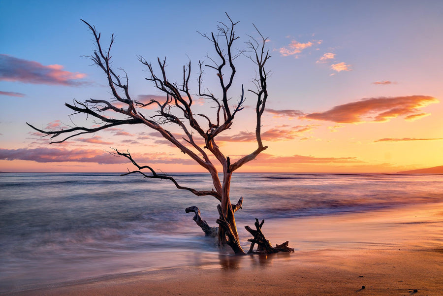Ocean tide washing up on a leafless tree half buried on a beach in Hawaii at sunset