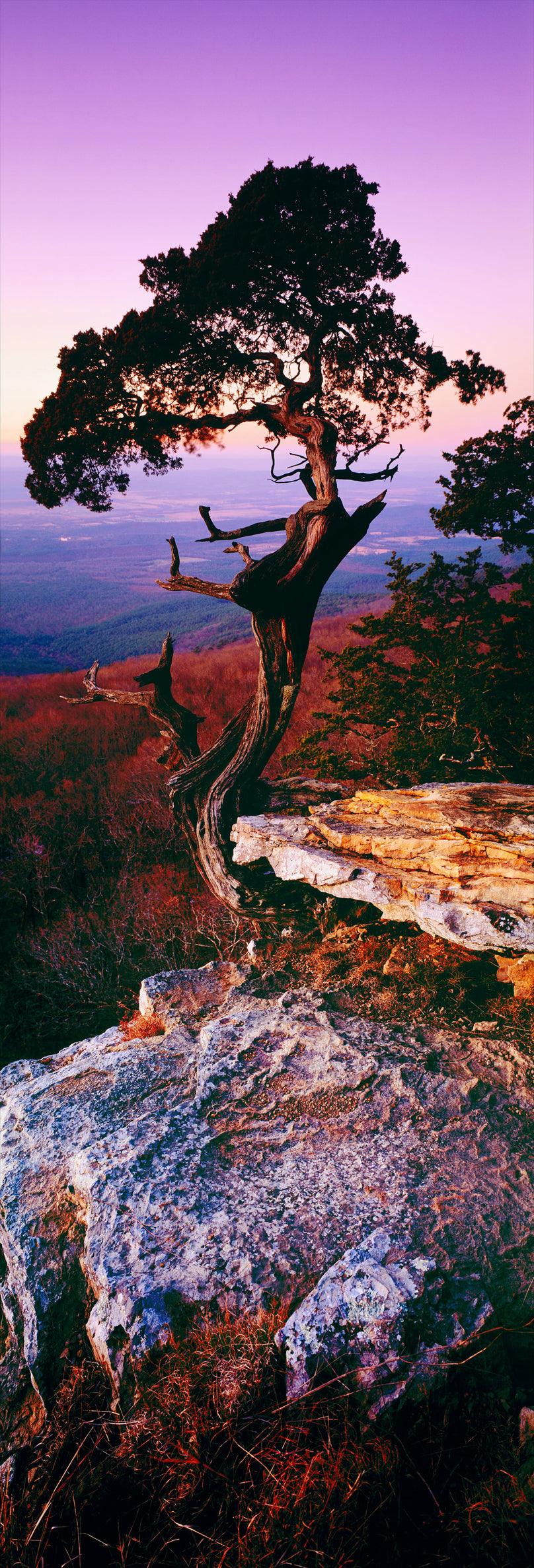Lone Cedar tree growing out of rocks on the hillside of Mount Magazine State Park Arkansas