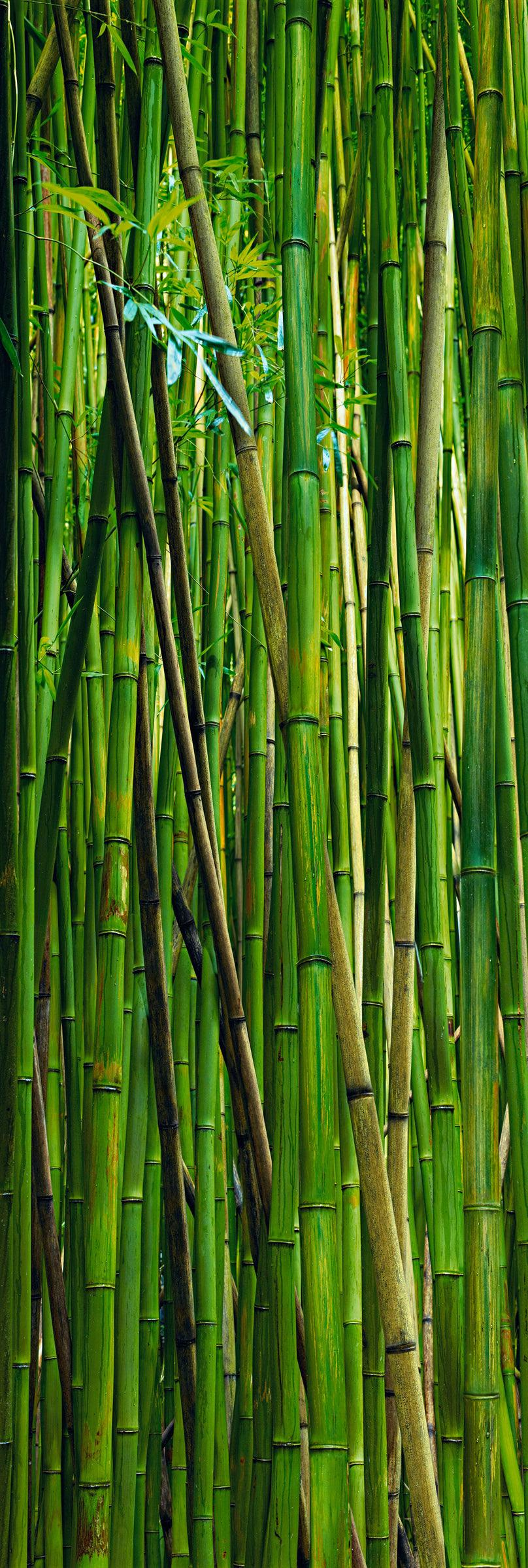 Wall of green and brown bamboo in the rainforest of Hana Hawaii