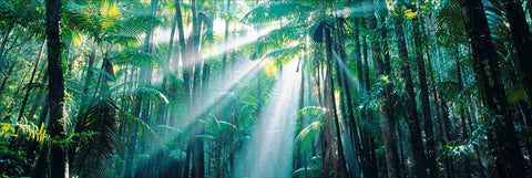 Sun burst shining through trees in the World Heritage Rainforest on Fraser Island Australia