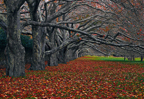 Row of old trees reaching over the leaf covered ground in East Hampton New York